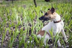 Fox-terrierhond in het weidelelietje-van-dalen Royalty-vrije Stock Afbeelding