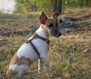 Fox-terrierportret, jonge hond in het de herfstbos Royalty-vrije Stock Foto