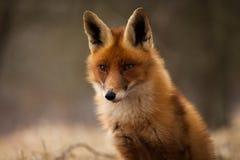 Fox. A tiny fox looking ahead royalty free stock photos