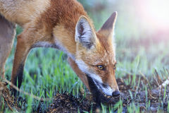Fox is on track sniffing the grass with sunny hotspot Stock Photo