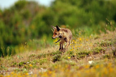 fox tracking down the field Royalty Free Stock Photo
