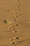 Fox tracks Royalty Free Stock Images