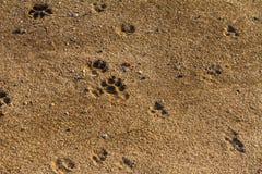 Fox trail on wet sand. In the forest. Zaporozhye region, Ukraine. February 2019 stock photography