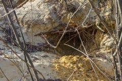 Fox trail on wet sand. In the forest. Zaporozhye region, Ukraine. February 2019 royalty free stock image