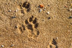 Fox trail on wet sand. In the forest. Zaporozhye region, Ukraine. February 2019 royalty free stock images
