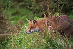 Fox In Trees Royalty Free Stock Photos