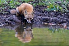 Fox-Trinken lizenzfreies stockbild