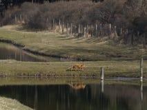 Fox am Ufer Lizenzfreie Stockfotos