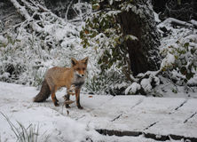 Fox in un ambiente naturale Fotografie Stock
