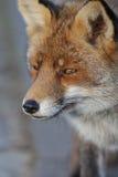 Fox up zakończenie Zdjęcie Stock