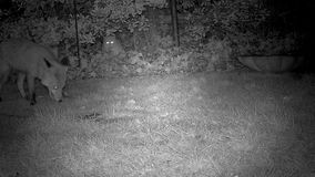 Fox in urban garden with large white cat. stock video footage