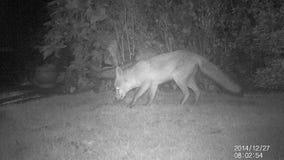 Fox in urban garden. stock footage