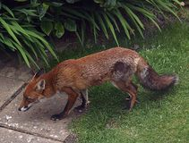 Fox urbano Fotografia Stock