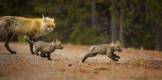 Fox-Verfolgung Stockbilder