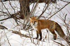 Fox vermelho Imagens de Stock Royalty Free