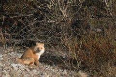 Fox vermelho Fotografia de Stock