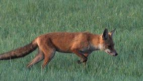Fox vermelho video estoque