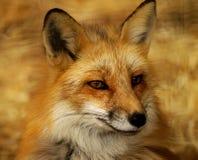 Fox vermelho foto de stock royalty free