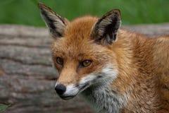 Fox vermelho Imagem de Stock