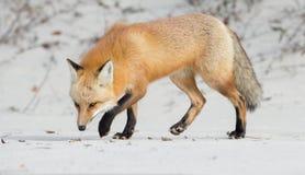 Fox vermelho Foto de Stock