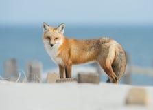 Fox vermelho Fotos de Stock