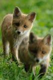 Fox vermelho Babys Foto de Stock Royalty Free