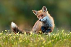 Fox vermelho bonito, vulpes do Vulpes no animal bonito da floresta da queda no habitat da natureza Cena dos animais selvagens da  imagens de stock