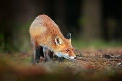 Fox vermelho bonito, vulpes do Vulpes no animal bonito da floresta da queda no habitat da natureza Cena dos animais selvagens da  imagem de stock