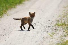 Fox vermelho curioso fotografia de stock