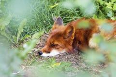 Fox vermelho do sono, Vulpes do Vulpes, no Hokkaido, Japão Imagem de Stock