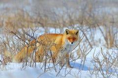 Fox vermelho escondido, vulpes do Vulpes, no inverno da neve Cena dos animais selvagens da natureza inverno frio com raposa bonit imagem de stock royalty free