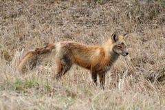 Fox vermelho na mola adiantada Imagens de Stock