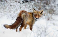 Fox vermelho na neve Imagens de Stock