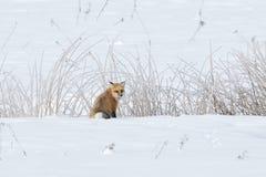 Fox vermelho na neve que olha para trás contra juncos gelados Imagens de Stock Royalty Free