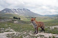 Fox vermelho na paisagem, Italy foto de stock
