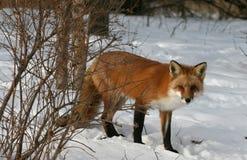 Fox vermelho no inverno Fotos de Stock