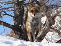 Fox vermelho nos animais selvagens da submissão fotos de stock royalty free