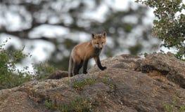 Fox vermelho novo Imagem de Stock Royalty Free