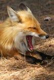 Fox vermelho que boceja Imagens de Stock