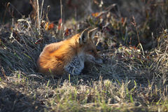 Fox vermelho que descansa na borda do campo Fotografia de Stock