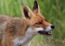 Fox vermelho que descobre os dentes Fotografia de Stock Royalty Free