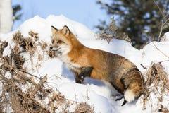 Fox vermelho que está no alerta completo Foto de Stock Royalty Free
