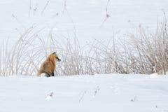 Fox vermelho que olha à direita contra juncos nevado Foto de Stock
