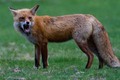 Fox vermelho que rosna Fotografia de Stock Royalty Free