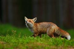 Fox vermelho running, vulpes do Vulpes, na floresta verde Foto de Stock Royalty Free