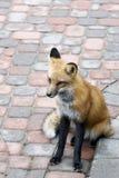 Fox vermelho urbano imagem de stock