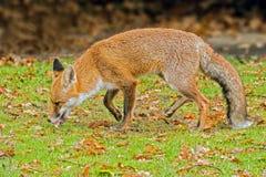 Fox vermelho urbano fotografia de stock