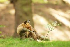Fox vermelho, vulpes do Vulpes, na cena europeia dos animais selvagens da floresta de República Checa Foto de Stock Royalty Free