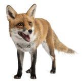 Fox vermelho, vulpes do Vulpes, 4 anos velho Fotografia de Stock