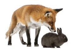 Fox vermelho, vulpes do Vulpes, 4 anos velho, jogando Fotos de Stock